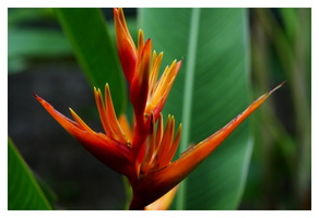 BALISIER HELICONIA