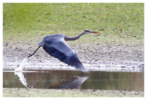 HERON AU DECOLLAGE